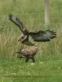 buzzard, buzzards, common buzz-04