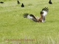 red kite, red kites,  wales-02