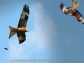 red kite, red kites,  wales-04