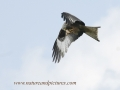 red kite, red kites,  wales-08