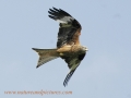 red kite, red kites,  wales-10