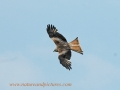 red kite, red kites,  wales-12