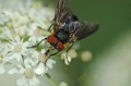 fly, british insects, flies, i