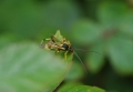 parasitic wasp, parasitic wasp-1
