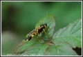 parasitic wasp, parasitic wasp-2