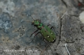 tiger beetle, tiger beetles,
