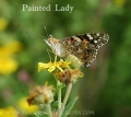 PAINTED LADY BUTTERFLY-1