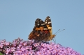 PAINTED LADY BUTTERFLY-6