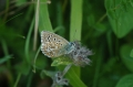 adonis blue butterfly-03