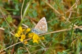 adonis blue butterfly-04
