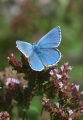 adonis blue butterfly-05