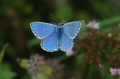 adonis blue butterfly-06