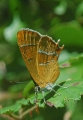 brown hairstreak butterfly-1