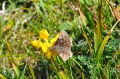dingy skipper butterfly-2