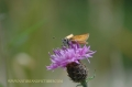 essex skipper butterfly-2