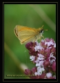 essex skipper butterfly-3