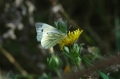 green-veined white, butterfly-4
