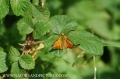 large skipper butterfly-1