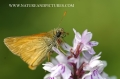 large skipper butterfly-2
