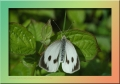 large white butterfly,