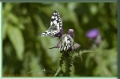 marbled white butterfly, marbl-2