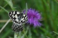 marbled white butterfly, marbl-3