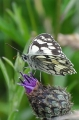 marbled white butterfly, marbl-4