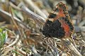 red admiral butterfly, red adm-1