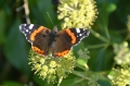 red admiral hayling island-1