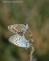 silver studded blue butterfly-4