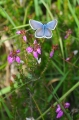 silver studded blue butterfly-5
