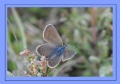 silver studded blue butterfly-6