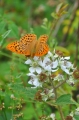silver washed fritillary butte-1