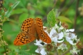 silver washed fritillary butte-2