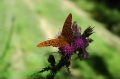 silver washed fritillary butte-5
