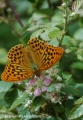 silver washed fritillary butte-6