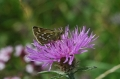 silver-spotted skipper-1