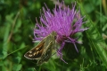 silver-spotted skipper-3