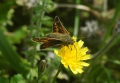 silver-spotted skipper-4
