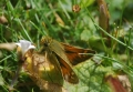 silver-spotted skipper-5