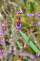 small copper butterfly-1