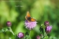 small copper butterfly-3
