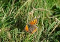 small copper butterfly-4