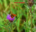 small skipper butterfly-2