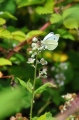 small white, butterfly, cabbag-1