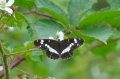 white admiral butterfly-2
