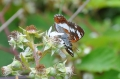 white admiral butterfly-3