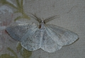 common  wave moth, common wave