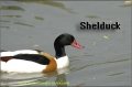 shelduck, shelducks-2