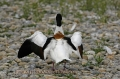 shelduck, shelducks-5